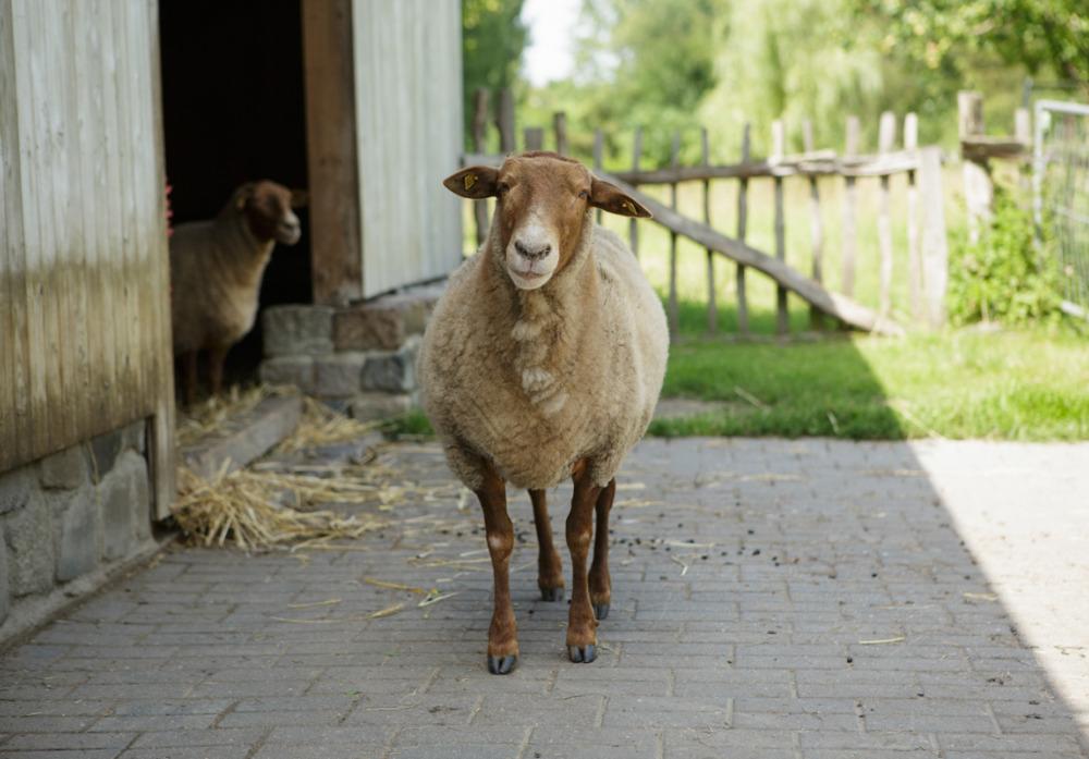 Schafe in Blankenfelde